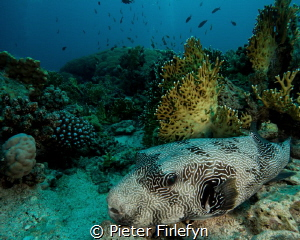 Pufferfish by Pieter Firlefyn